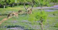 Bluebonnets and Deer
